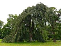 Ett gammalt träd med en lång berättelse Royaltyfria Bilder