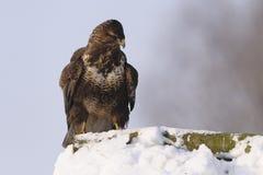 Ett gemensamt anseende för fågel för vråkButeobuteo på insnöad vinter Arkivbilder