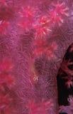 Ett genomskinligt gobyfisknederlag på en rosa korall Royaltyfri Bild