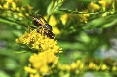 Ett getingsammanträde på en goldenrod Fotografering för Bildbyråer