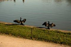 Ett gift par för svart svan Royaltyfri Fotografi