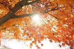 Ett ginkoträd och solsken i höst Arkivfoto