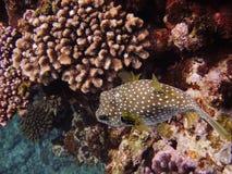 Ett globefishnederlag i korallen Royaltyfria Bilder