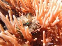 Ett globefishnederlag i korallen Royaltyfri Fotografi