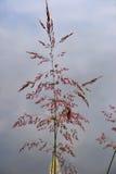 Ett grässtrå. Royaltyfria Foton