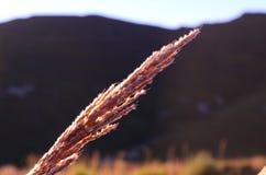 Ett grässtrå fotografering för bildbyråer
