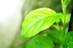Ett grönt blad i solen barn för en groddträdfrukt i morgonen arkivbilder