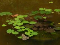 Ett grönt damm med nenuphars och en padda fotografering för bildbyråer