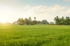 Ett grönt fält av växande ris Royaltyfri Bild