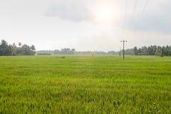 Ett grönt fält av växande ris Arkivfoton