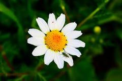 Ett grönt kryp ovanför en vit blomma Fotografering för Bildbyråer