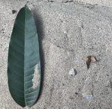 Ett grönt mangoblad på grov sand Royaltyfri Foto