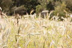 Ett grönt vetefält och en solig dag grunt djupfält Royaltyfria Bilder