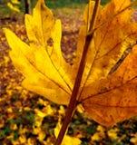 Ett gulaktigt blad royaltyfria foton