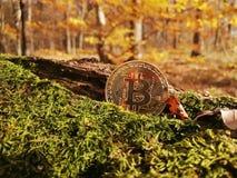 Ett guld- bitcoinmynt på bakgrunden av höstsidor och gräs royaltyfri bild