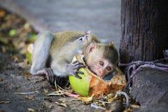 Ett gulligt behandla som ett barn apan som äter kokosnöten. Fotografering för Bildbyråer