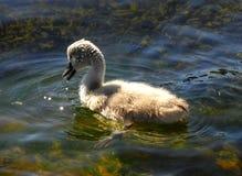 Ett gulligt behandla som ett barn svanen Fotografering för Bildbyråer