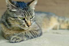 Ett gulligt kattsammanträde för tiger Royaltyfria Bilder