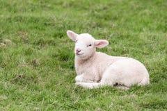 Ett gulligt lamm ligger i gräset Arkivbild
