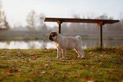 Ett gulligt valpmopsanseende på gräs, under en bänk nära sjön och ser framåtriktat royaltyfria foton