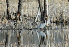 Ett hägeranseende för stora blått i en Marsh Along den Minnesota floden Arkivfoton