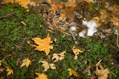 Ett härligt abstrakt foto av den torra gulaktiga lönnlövet som faller på jordningen nära en liten ström royaltyfri fotografi