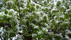 Ett härligt Apple träd med stora vita blommor svänger arkivfilmer