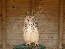 Ett härligt Bengal Eagle Owl Bubo Bengalensis sammanträde på hans p Arkivfoton