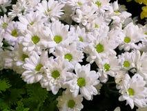 Ett härligt, fullt - sikt av en trädgårdsäng av ljusa vita och gröna blommor, sammanlagt av deras skönhet arkivfoton