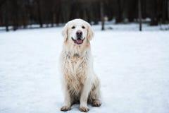 Ett härligt, gulligt och keligt golden retrieverhundsammanträde i en parkera på en molnig vinterdag arkivfoton