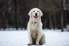 Ett härligt, gulligt och keligt golden retrieverhundsammanträde i en parkera på en molnig vinterdag royaltyfri bild