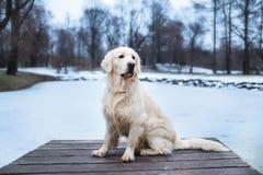 Ett härligt, gulligt och keligt golden retrieverhundsammanträde i en pir i en parkera för dagskog för rotting molnig vinter för s royaltyfri foto