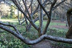 Ett härligt mycket gammalt träd i Dandenong spänner Arkivfoto