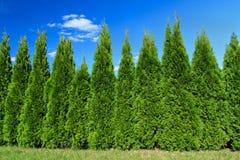 Cypresses arkivfoton