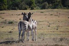 Ett härligt sebrapar på en äng i Sydafrika arkivbilder