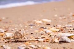 Ett härligt skal i mitt av havskusten som är söndersliten med utslagna skal Arkivbild