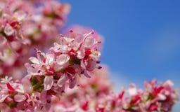 Ett härligt upp av en rosa blommablomning Royaltyfri Fotografi