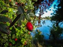 Ett härligt snör åt bäret på busken royaltyfri fotografi