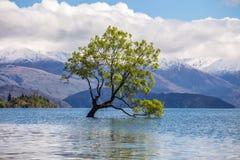 Ett härligt soligt väder med det Wanaka trädet, sjö Wanaka som är glåmig Arkivbild