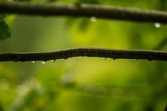 Ett härligt stillsamt regn tappar på en filial av ett alträd in arkivfoton