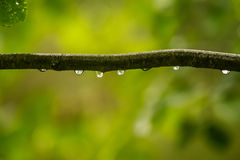 Ett härligt stillsamt regn tappar på en filial av ett alträd in fotografering för bildbyråer