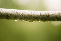 Ett härligt stillsamt regn tappar på en filial av ett alträd in arkivbilder