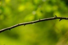 Ett härligt stillsamt regn tappar på en filial av ett alträd in royaltyfri fotografi