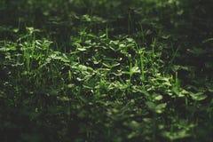 Ett härligt växt av släktet Trifoliumfält arkivfoto