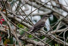 Ett härmfågelnederlag i borsten Royaltyfri Fotografi