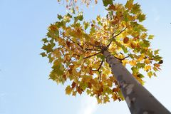 Ett högt träd med bladet i höst Arkivfoton