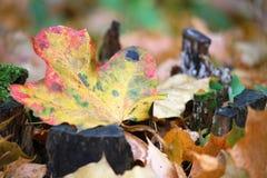 Ett höstblad i skogen Arkivfoton