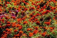 Ett hav av härliga orange blommor. Arkivbilder