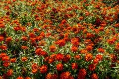 Ett hav av härliga orange blommor. Fotografering för Bildbyråer