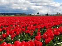 Ett hav av röda Tulip Beauties arkivfoton